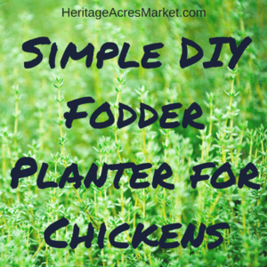 Simple DIY Fodder Planter for Chickens 1