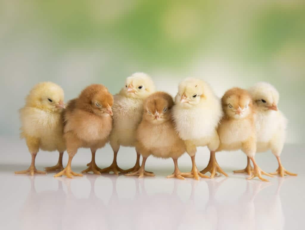 Everything You Wanted To Know About Raising Chickens 1