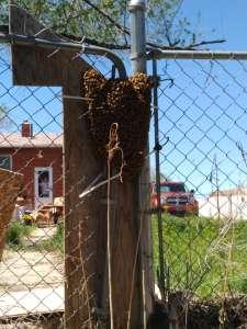 FREE Honey Bee Swarm Removal 17