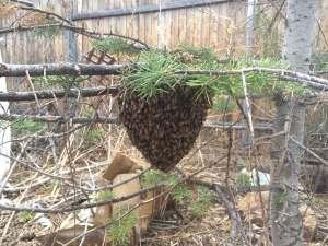 FREE Honey Bee Swarm Removal 15