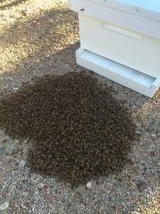 FREE Honey Bee Swarm Removal 18