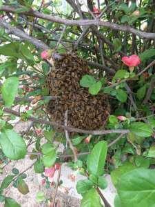 FREE Honey Bee Swarm Removal 14