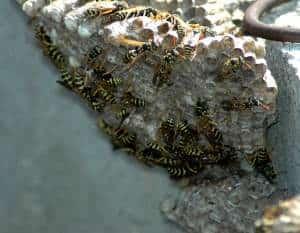 FREE Honey Bee Swarm Removal 24