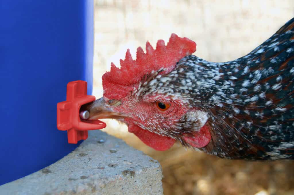 Chicken Nipples: Everything You Need To Know About Chicken Water Nipples 37